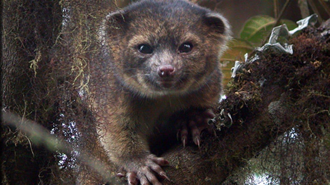 L'olinguito, le chat-ours de 2 kg vivant dans les forêts de Colombie et d'Equateur. Il s'agit du premier mammifère carnivore découvert à l'ouest du méridien de Greenwich depuis 35 ans.