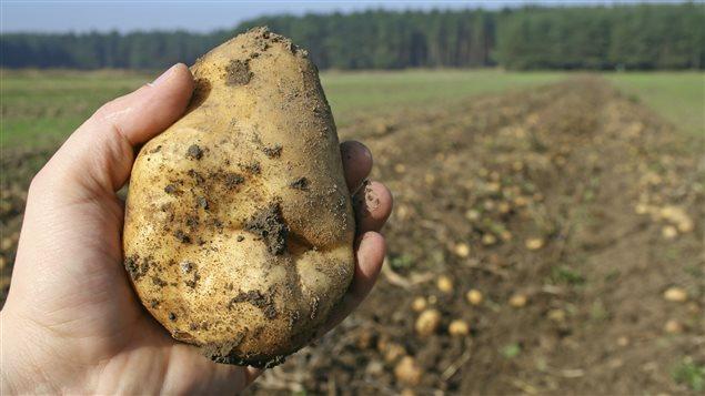 Une maladie de la pomme de terre venue du mexique ici radio - Maladie de la pomme de terre ...