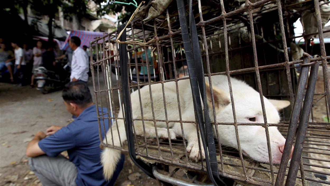 La consommation de viande de chien est au coeur du festival de Yulin.