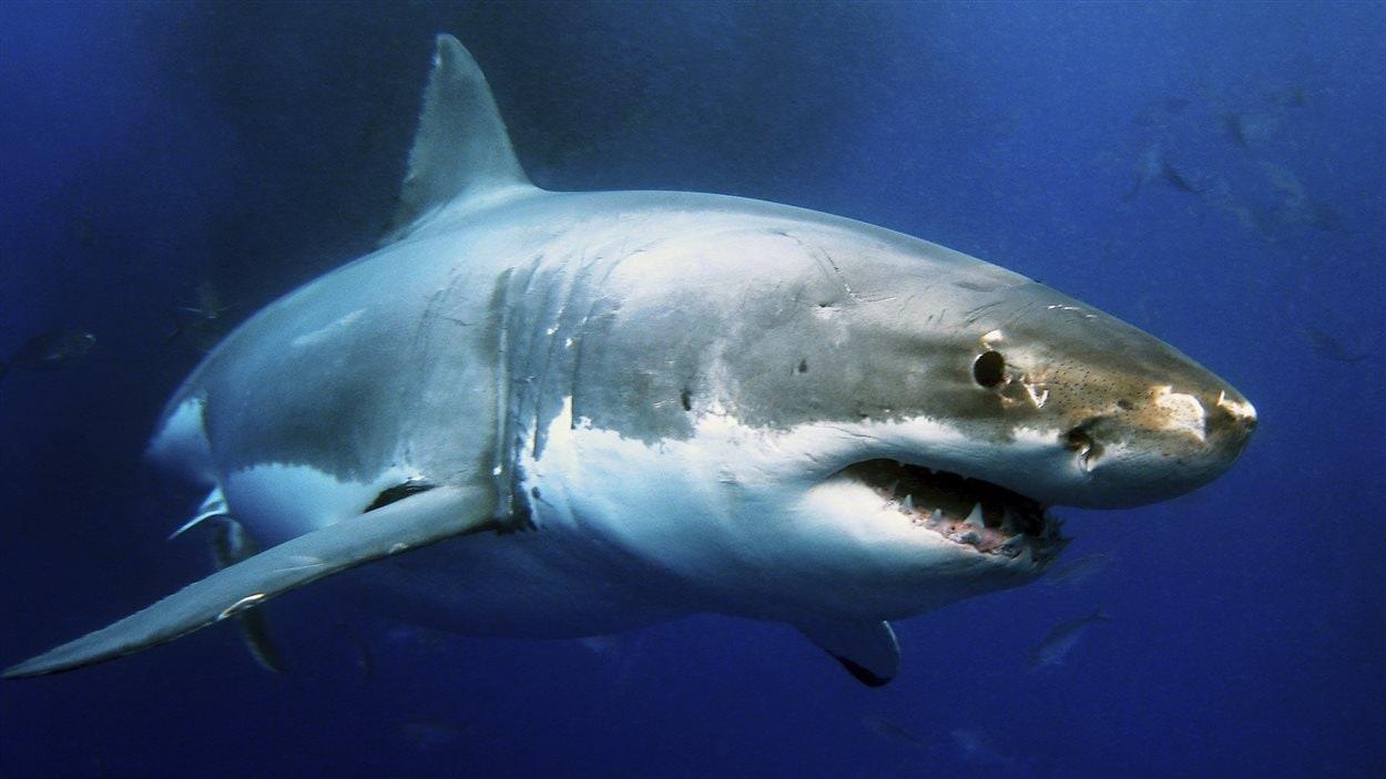 Attaque d 39 un grand requin blanc j 39 ai ouvert les yeux - Photo de requin tigre a imprimer ...