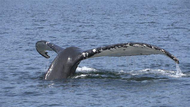 Les baleines s'approchent des bateaux.