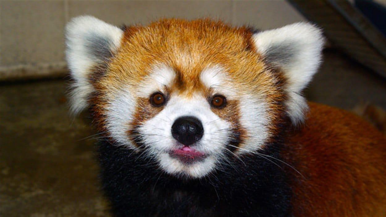 Le sort du panda roux fait l 39 objet de discussions ici - Panda roux dessin ...