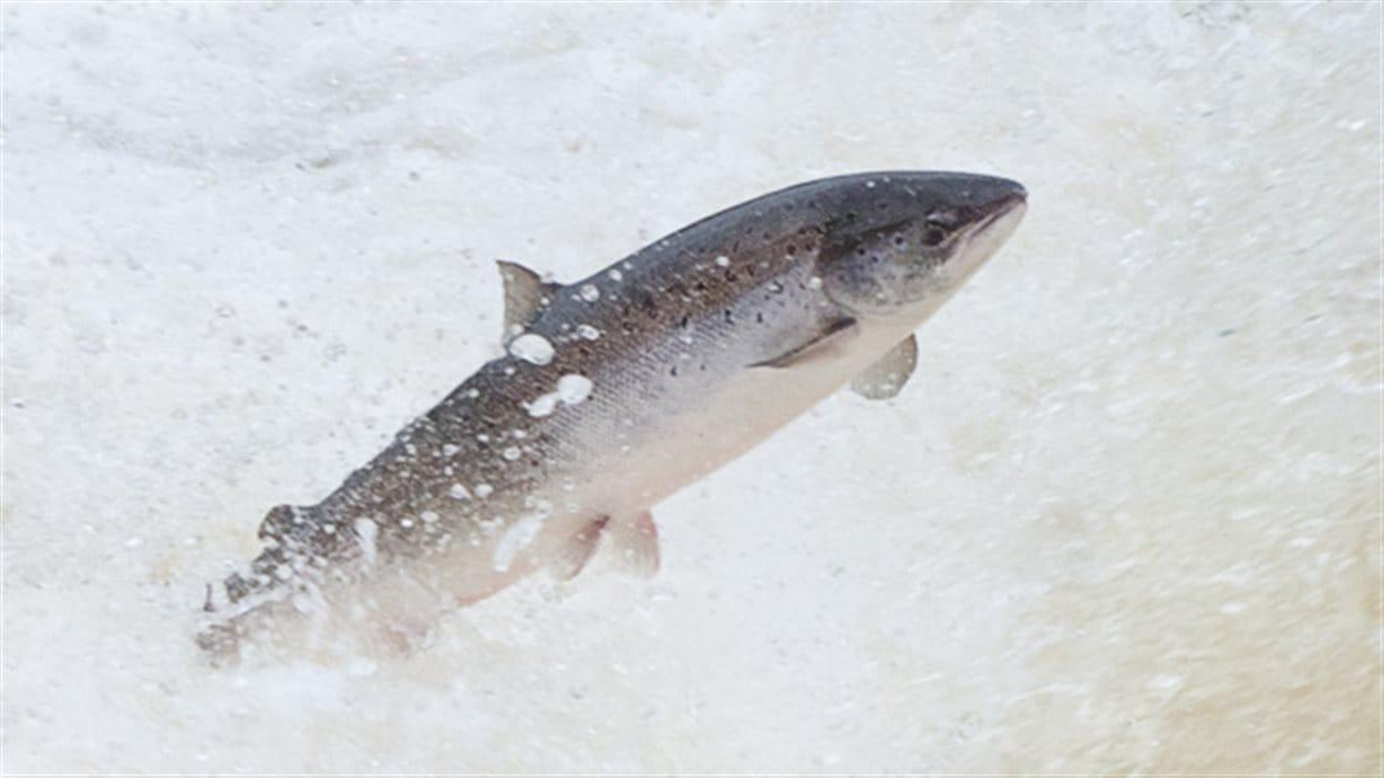 Un saumon de l'Atlantique en pleine montaison