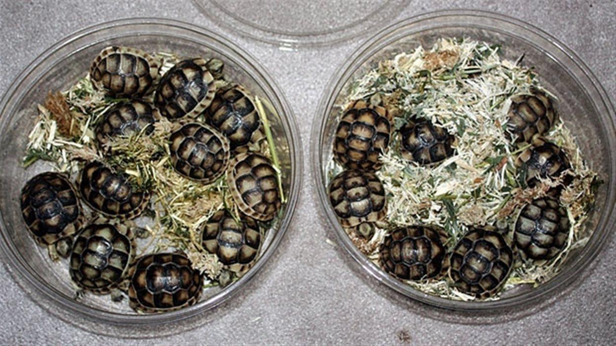 Un homme de Windsor est arrêté pour avoir tenter de faire passer illégalement des tortues au Canada.