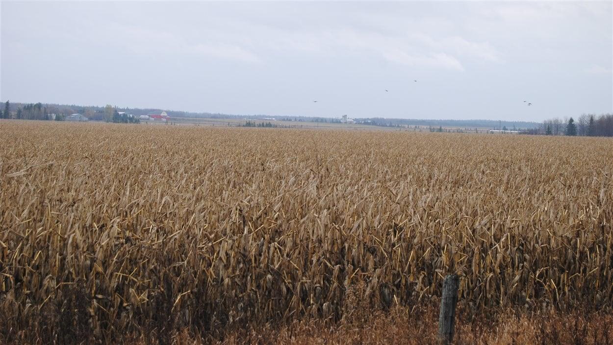 Au Temiskaming, la majorité des champs agricoles n'ont pas encore été récoltés. Les moissons sont habituellement terminées au plus tard à l'Action de Grâce