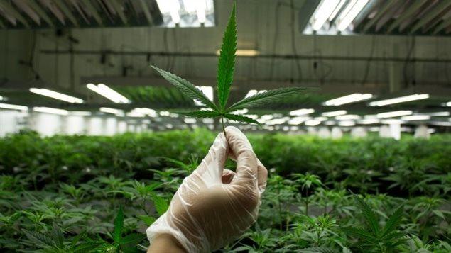 Marijuana thérapeutique et publicité : Des mesures musclées sont prises par Santé Canada