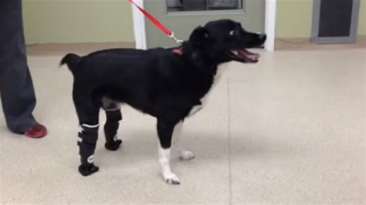 Un chien de retour sur quatre pattes grâce à des prothèses