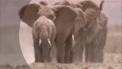Harde d'éléphants.
