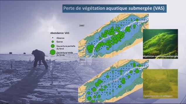 Perte de végétation aquatique submergée (habitat de la perchaude) dans le lac Saint-Pierre