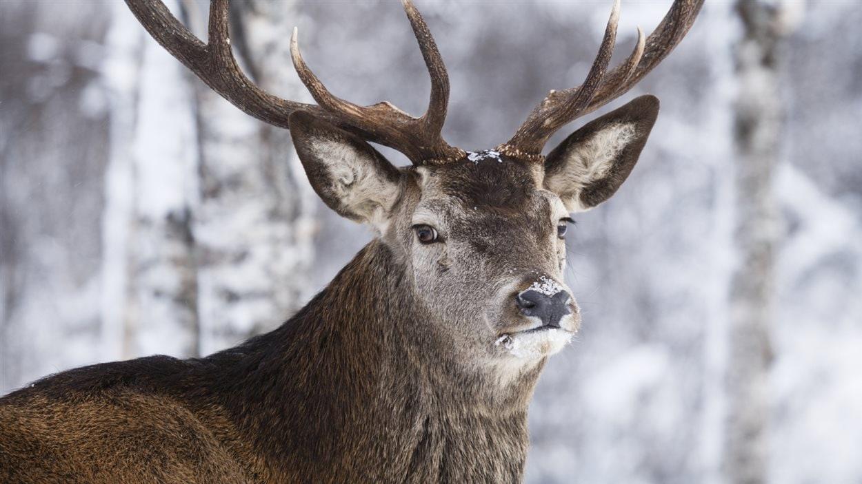 Un caribou dans son habitat naturel