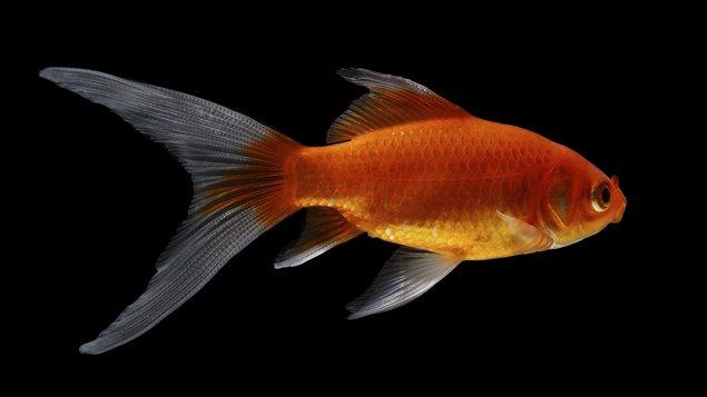 Quand vos m dicaments perturbent les poissons ici radio for Alimentation des poissons rouges