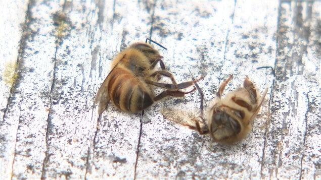 Deux abeilles mortes