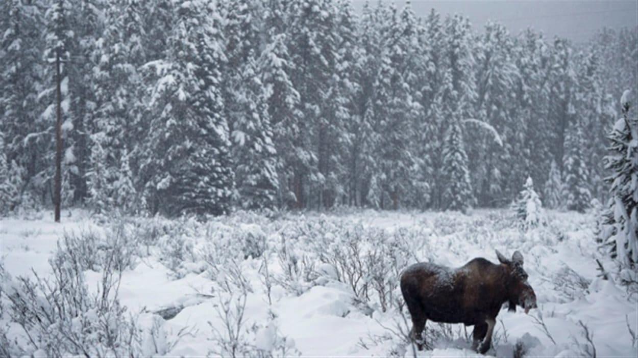 Selon les lois de la province, aucun chasseur n'est autorisé à décharger une arme à feu ou un arc le long des autoroutes provinciales incluant la réserve routière.