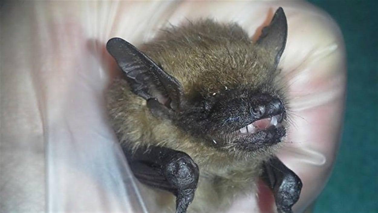Une bact rie pour sauver les chauves souris de l 39 extermination au canada ici radio - Image de chauve souris ...