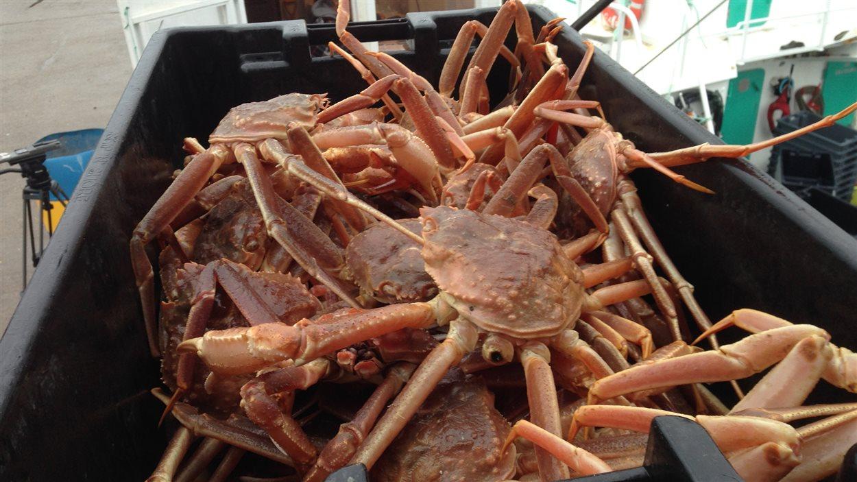 Premiers arrivages de crabe gaspésien