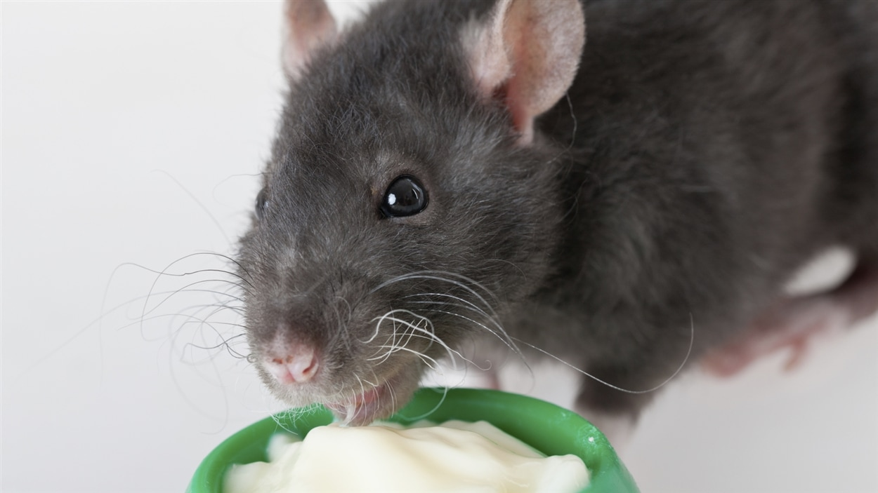 sexe insolite le sexe de hamster