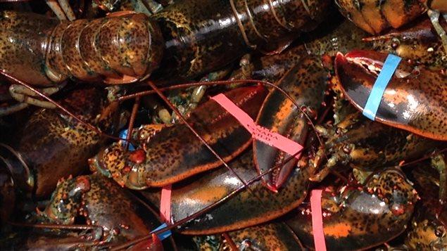 Du homard des Îles-de-la-Madeleine