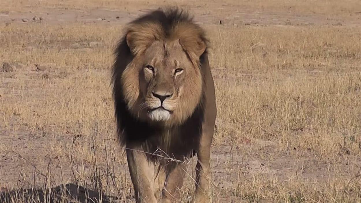 le plus c l bre lion du zimbabwe tu par un chasseur tranger ici radio. Black Bedroom Furniture Sets. Home Design Ideas