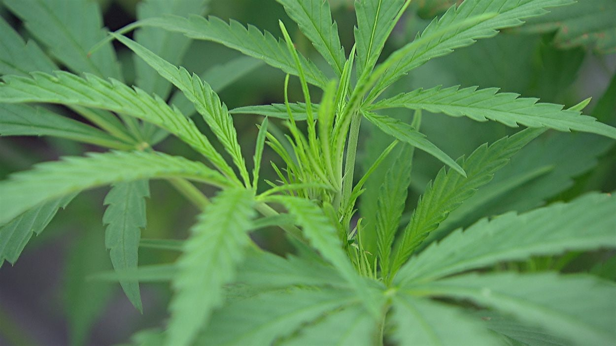 Un jeune plan de marijuana.