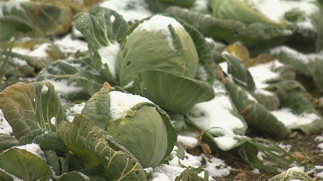 Des bénévoles cueillent des légumes pour la banque alimentaire Moisson-Rimouski-Neigette