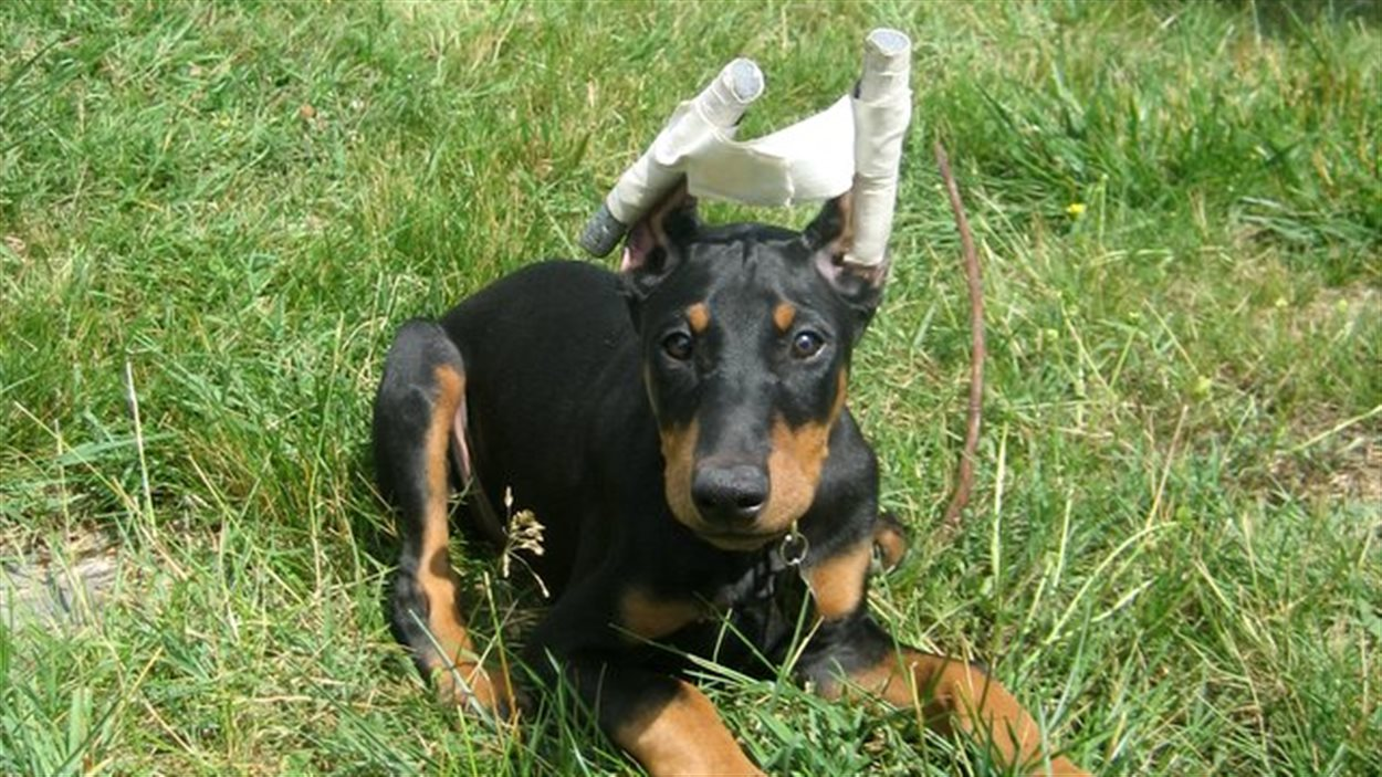 A Doberman pinscher puppy with its ears taped after cropping to train them to remain upright in the desired shape and carriage.