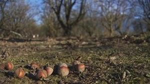 La brûlure du noicsetier ravage les plantations de l'Ouest