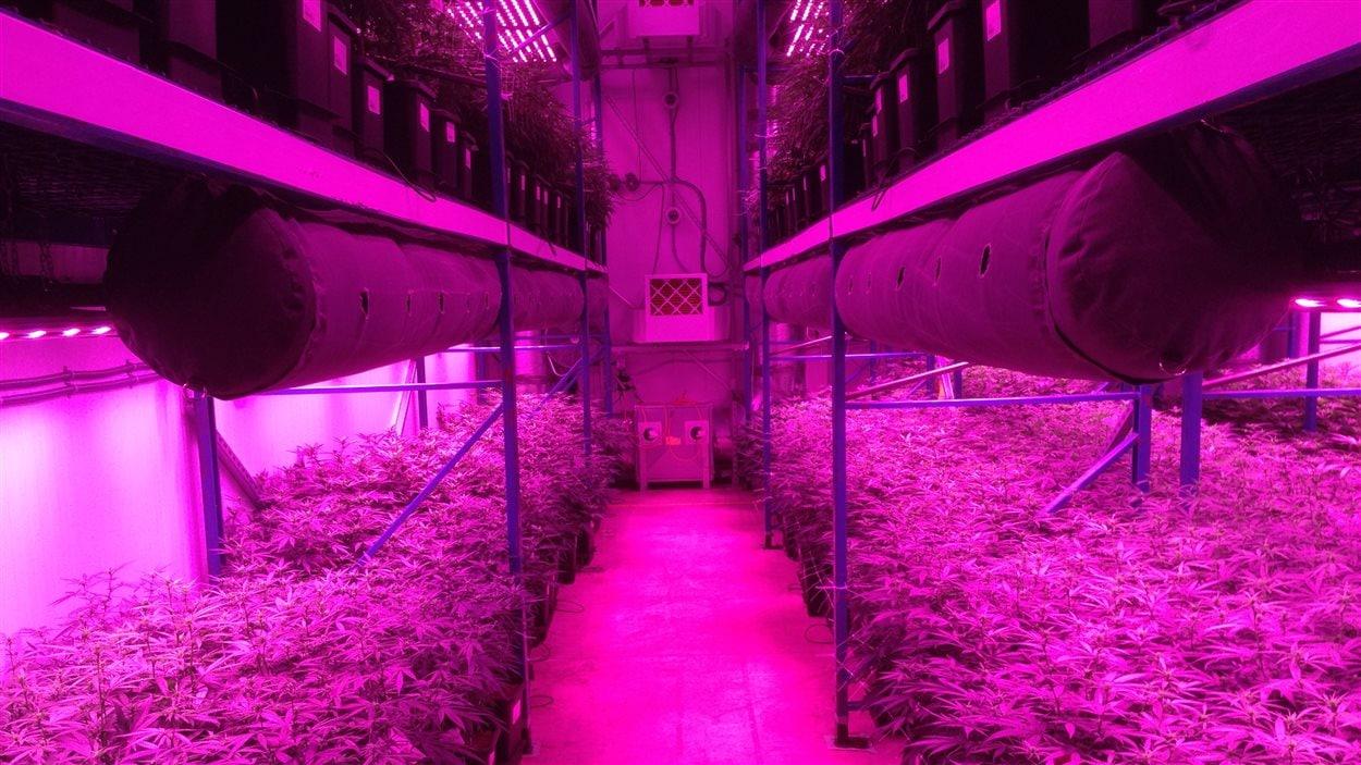 Des plans de marijuana dans une usine de production.