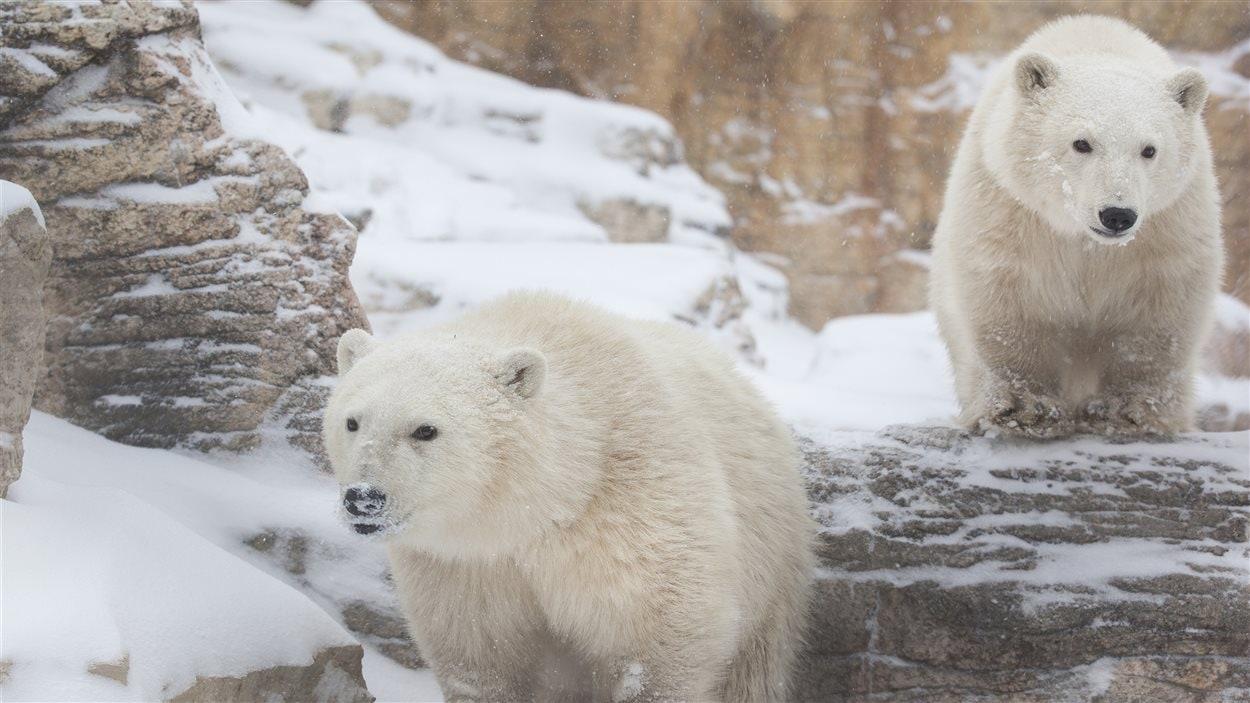 Les deux jeunes ours polaires au zoo de Winnipeg