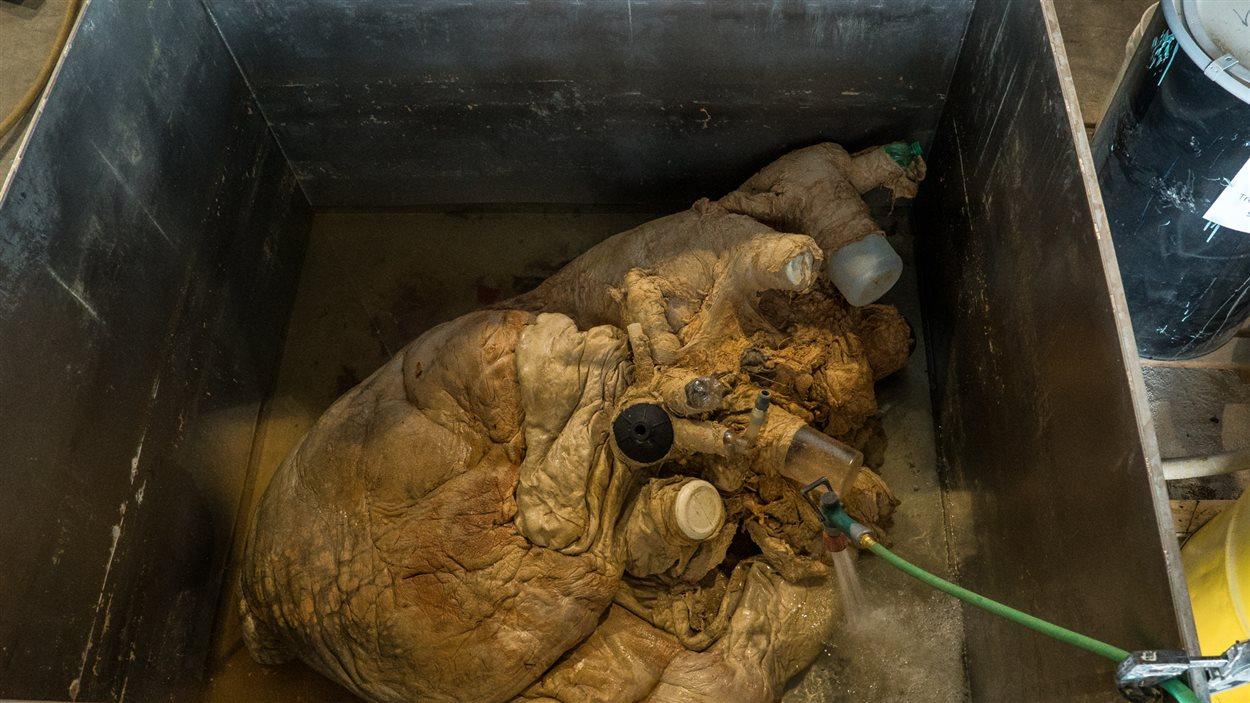 Ce coeur de 180 kg d'une baleine bleue échouée à Terre-Neuve en 2014 a été expédié vers l'Allemagne où il sera plastifié