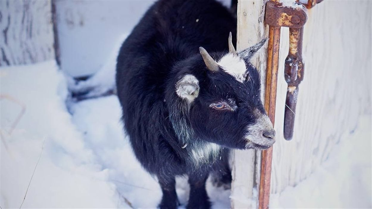 Une ferme de l'ouest de Terre-Neuve veut récupérer de vieux sapins de Noël pour nourrir ses chèvres