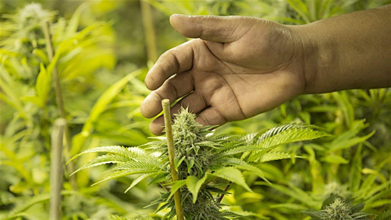 Des fonctionnaires conseillent à Justin Trudeau de ne pas précipiter la légalisation de la marijuana au Canada.