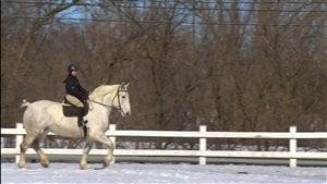 Les percherons sont des chevaux très confortables à monter.