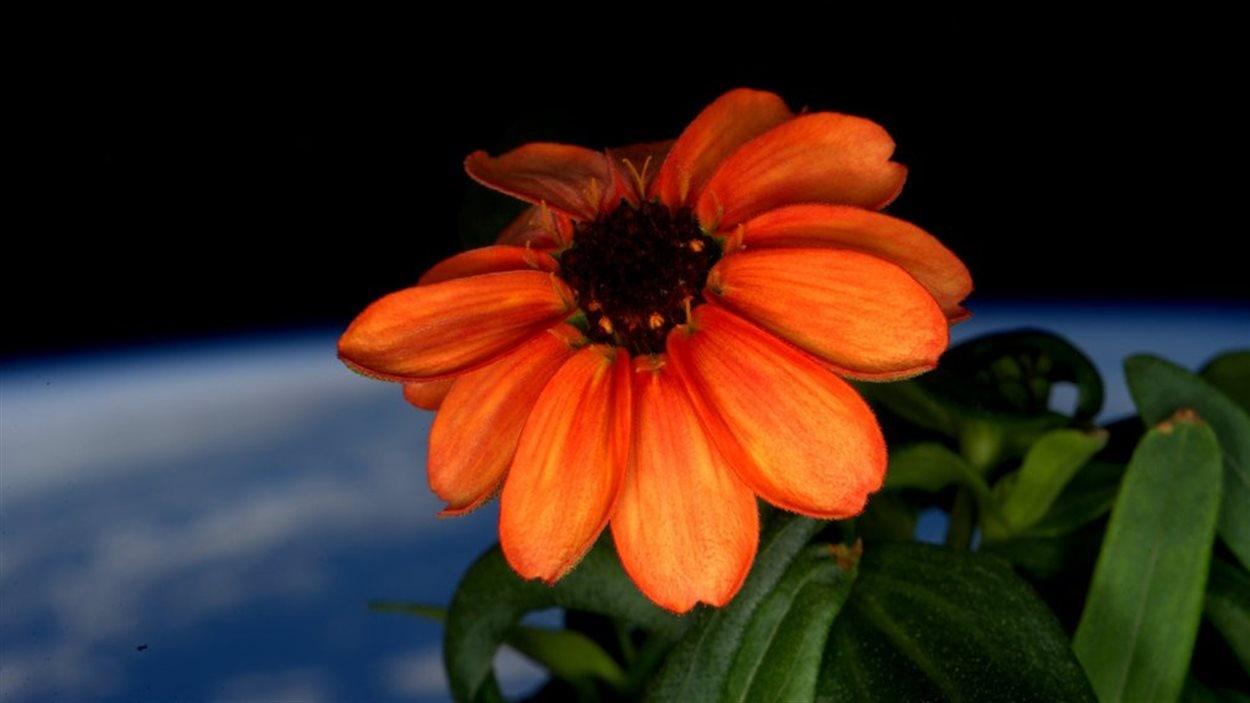 Un zinnia cultivé dans la Station spatiale internationale (SSI) est devenu en janvier 2016 la première fleur à pousser dans l'espace.