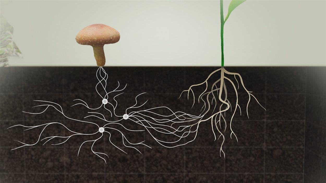 90% des plantes collaborent avec les champignons pour vivre.
