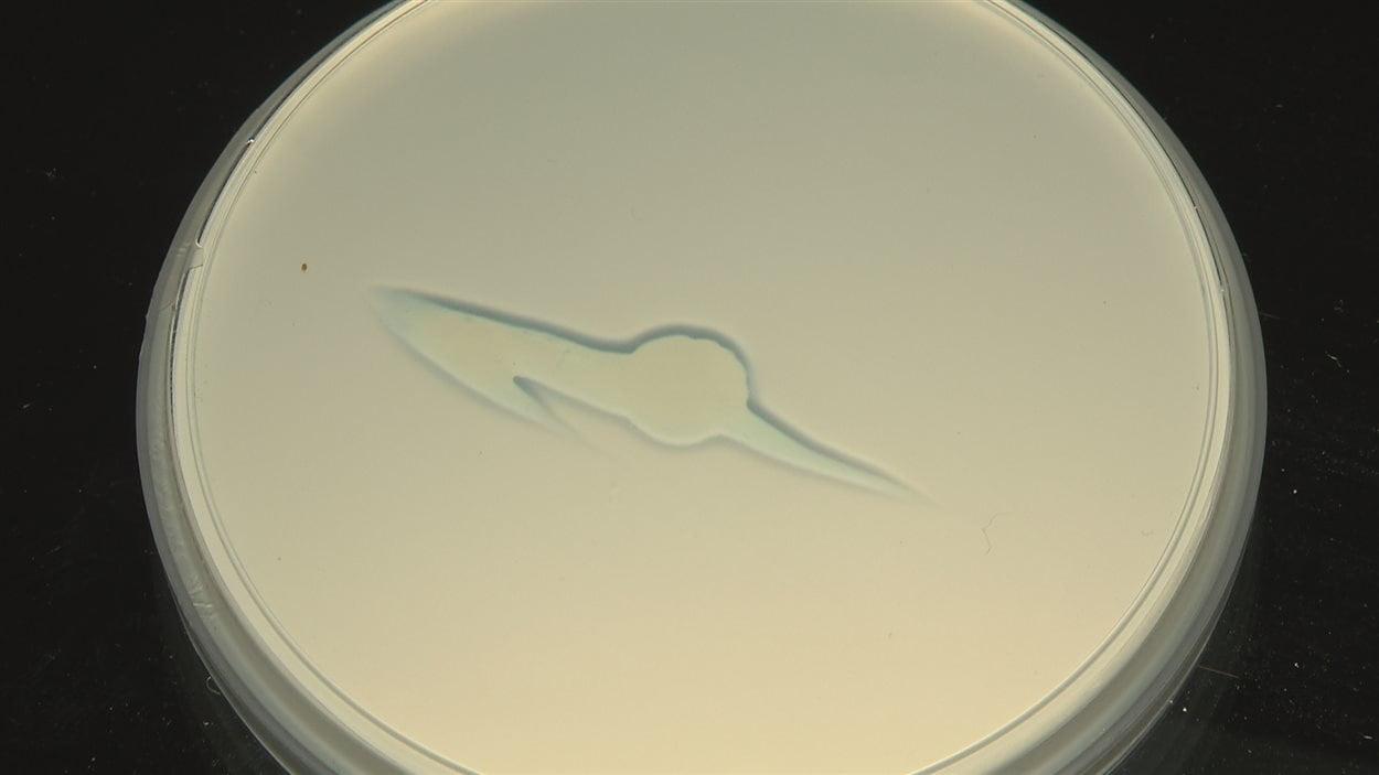 Évolution de la digestion de l'apatite par une bactérie en laboratoire. Photo 1