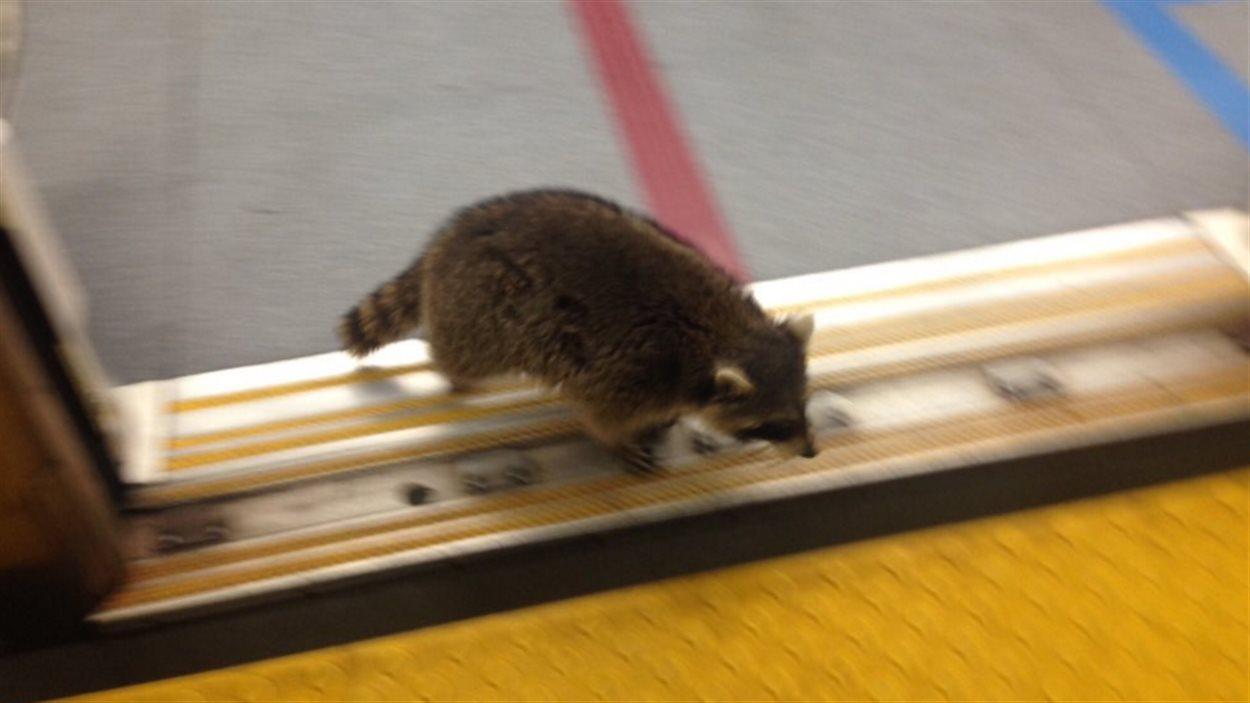 Le raton laveur qui sort d'une rame de métro.