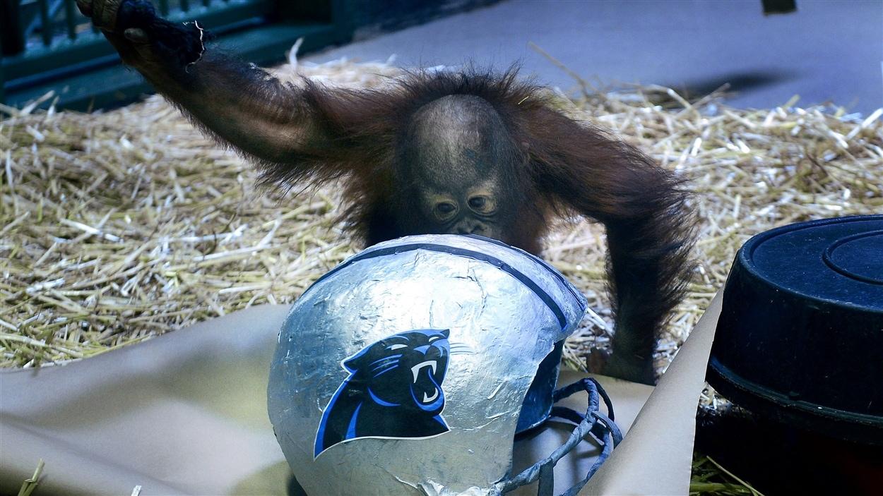 Tuah prédit la victoire des Panthers de la Caroline.