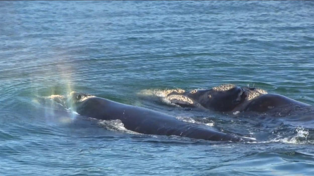 La baleine noire est la baleine la plus en danger de l'Atlantique Nord.