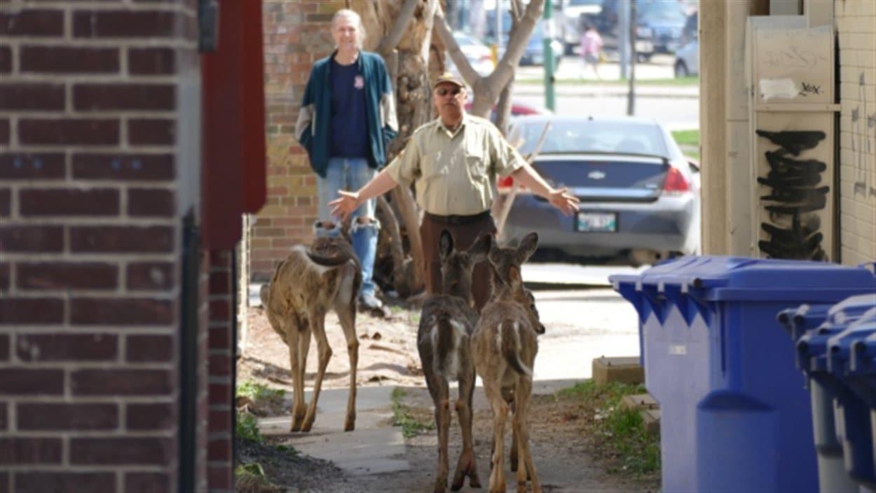Un agent de la faune tente d'éloigner les cerfs de Virginie du centre-ville