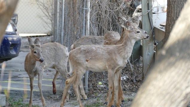 Des cerfs de Virginie au centre-ville de Winnipeg