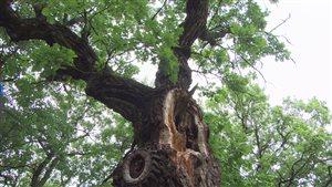Le vieux chêne de Souris serait âgé de 500 ans... sauf que personne n'a réussi à confirmer l'âge exact de l'arbre.