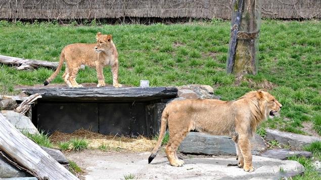 Attaque d 39 une lionne au zoo de granby une mauvaise for Lien dans une nouvelle fenetre