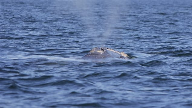 Une fois retournée en surface, la baleine noire exhale l'eau de ses poumons.