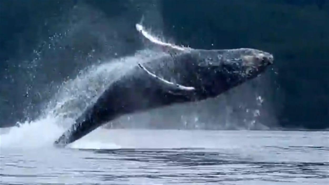 Heather Lawrence qui prenait part à une expédition de kayak a filmé un spectacle impressionnant donné par un groupe de baleines à bosse dans les eaux de la côte sud de la C.-B.