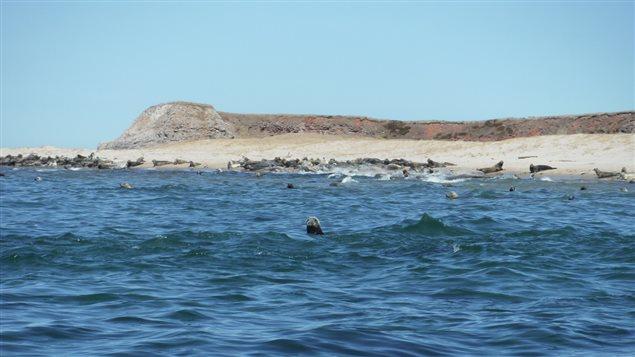 Des phoques sur la plage de lîle Brion