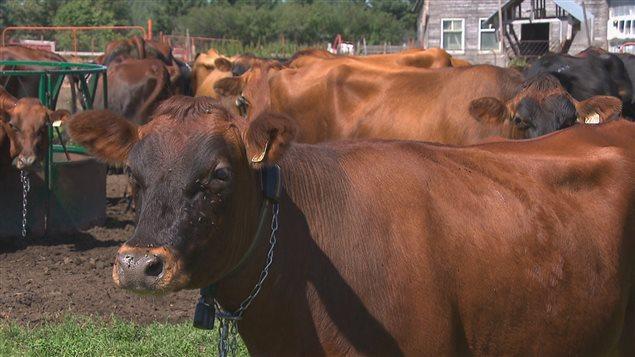 Des vaches canadiennes