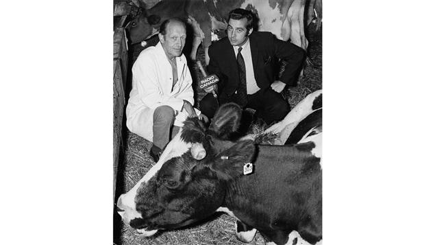 Dans un abattoir, l'agronome Roger Molleur en entrevue avec le journaliste Jean-Guy Roy, parmi des vaches.