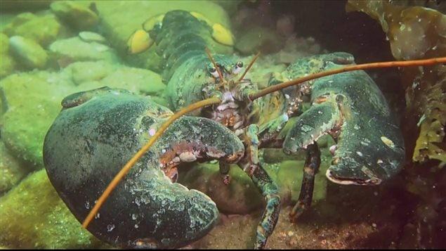 Les plongeurs rencontrent, entre autres, d'énormes homards.