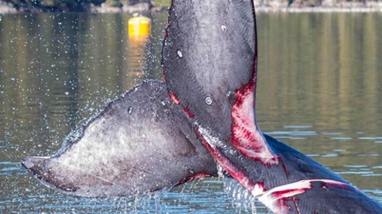 La queue de la jeune baleine à bosse qui a été prise dans de l'équipement de pêche d'une ferme d'aquaculture au nord de Klemtu, en Colombie-Britannique.
