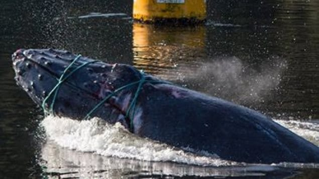 Le jeune rorqual à bosse qui a été pris dans des cordages de pêche au nord de Klemtu, en Colombie-Britannique.